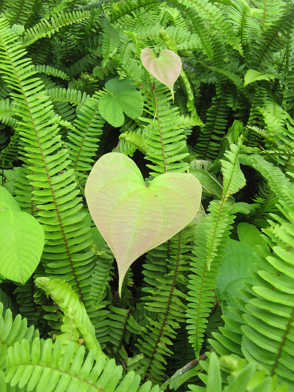heart plants