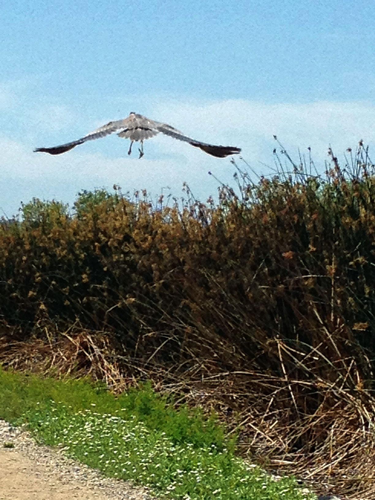 great-blue-heron-flying