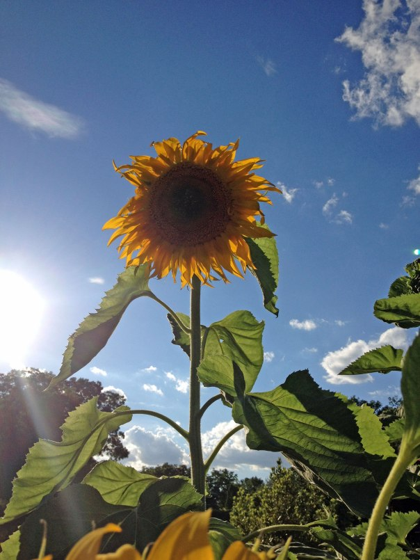 giant-sunflower2