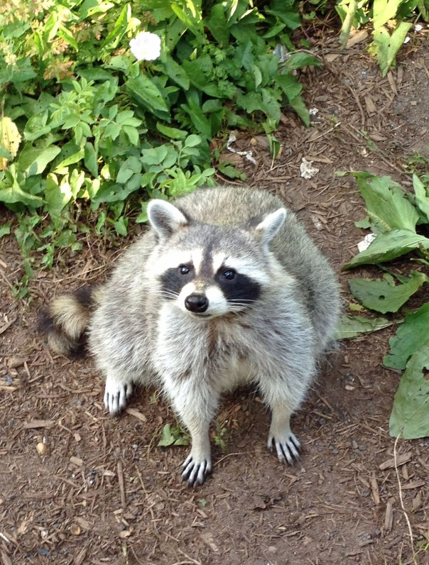 raccoon-friend