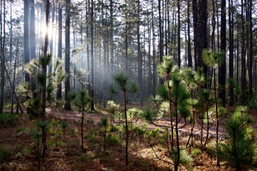 Pine Forest in the Pueblos Mancomunados