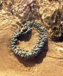 sea-anemone-2