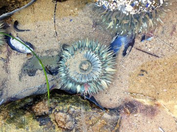 sea-anemone4