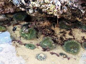 sea-anemone5