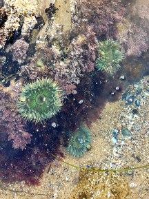 sea-anemone7