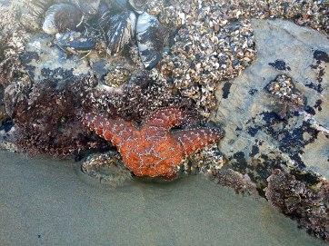 starfish8