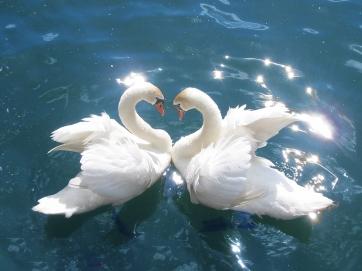 mirroring swans