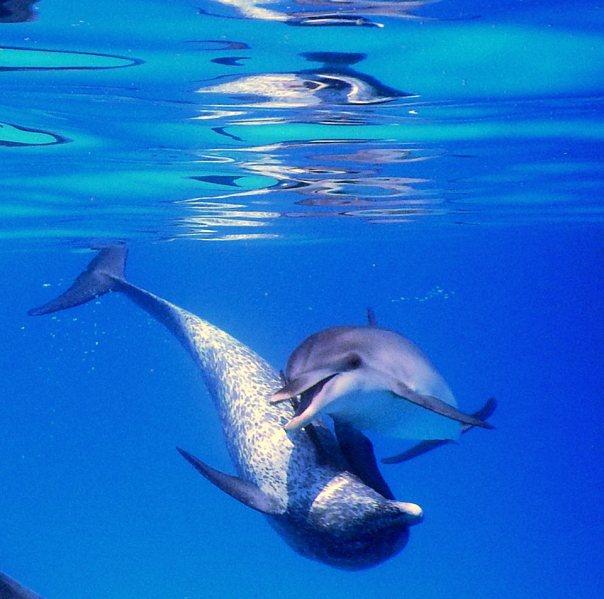 bimini dolphins (1)