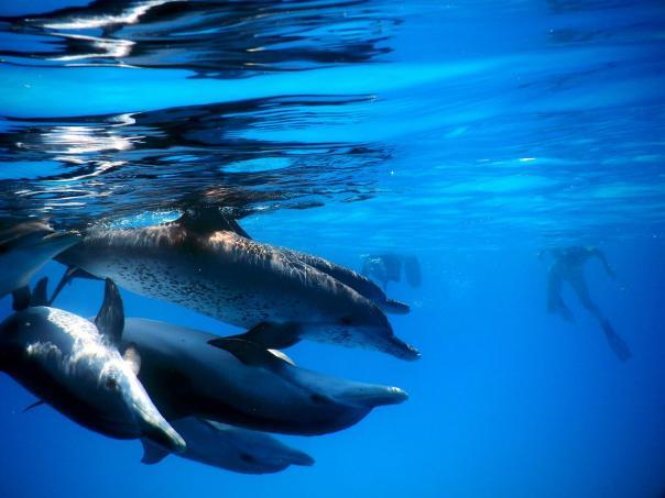 bimini dolphins (2)