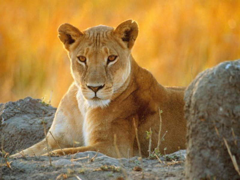healing dreams my lioness friend tania marie