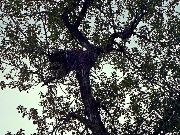bald eagle nest (3)a
