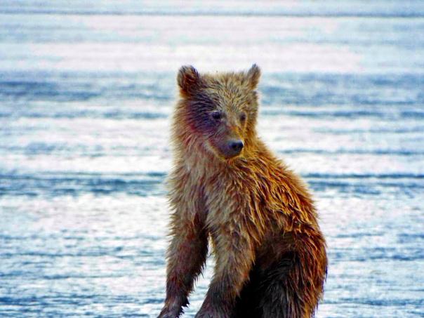 bear cub3