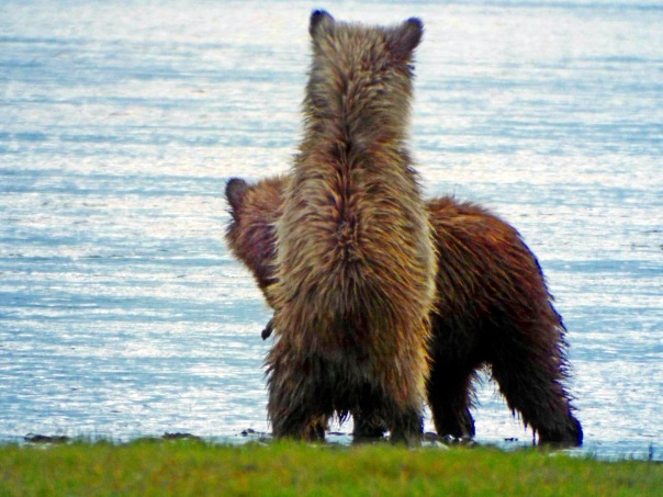 bear cubs7