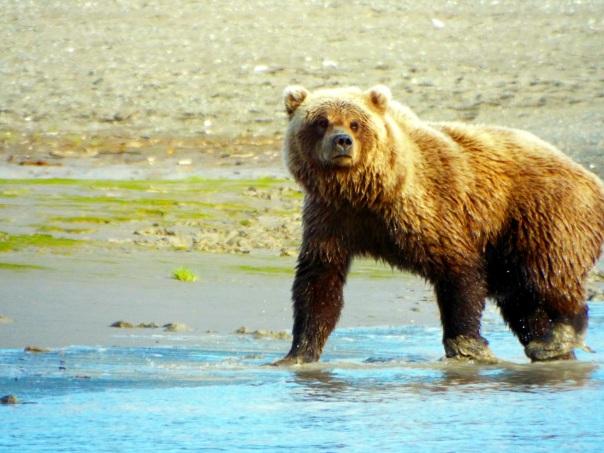 bear male12