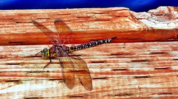 dragonfly3a