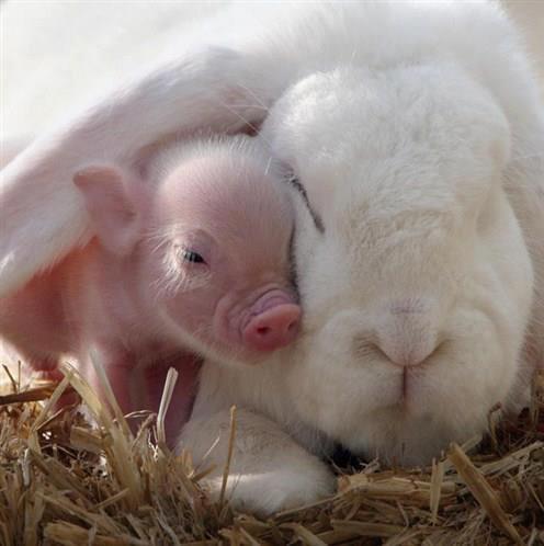 rabbit and piglet love