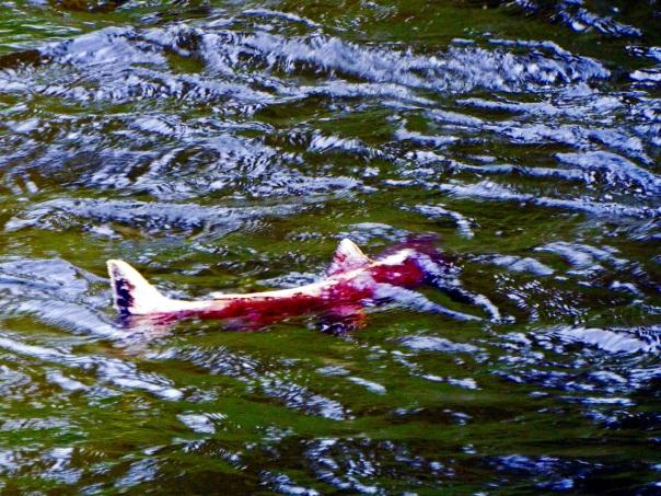 salmon (2)a
