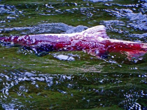 salmon4b