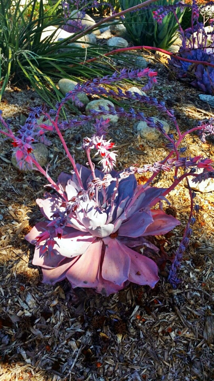 faery succulent
