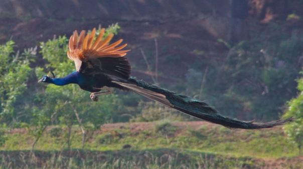 Peacock flying on rice field, at Karaikudi, Tamilnadu. Image taken on 12th November 2012, by Haribabu Pasupathy