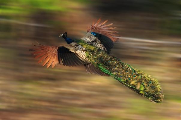 peacock in flight by Nonnie Saran 2010
