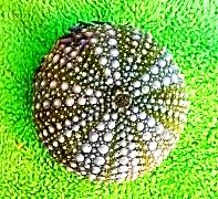 sea urchin2