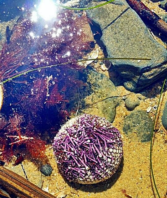 sea urchin3