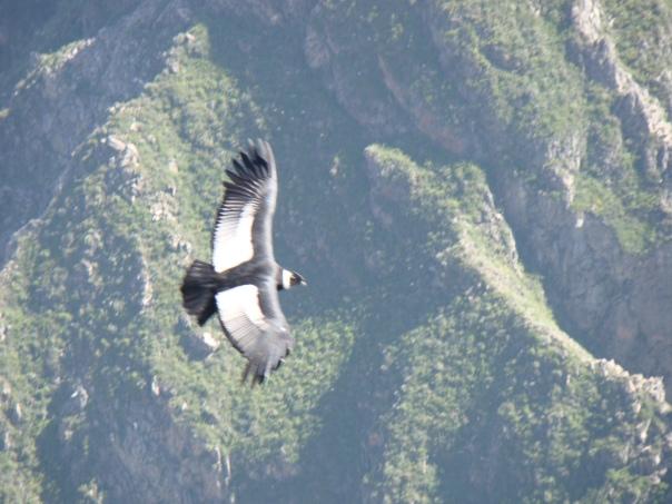 condor from amaru
