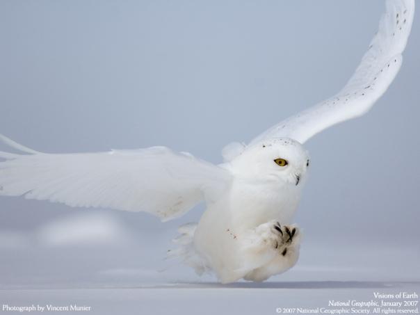 white owl2