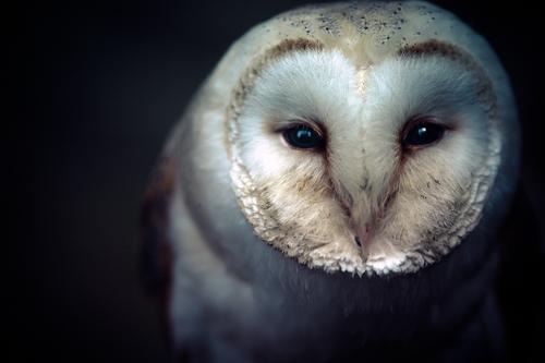 white owl3