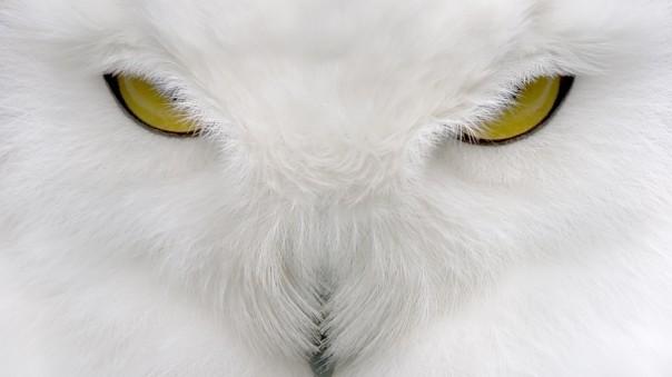 white owl5