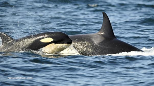 Orca-Killer-Whales