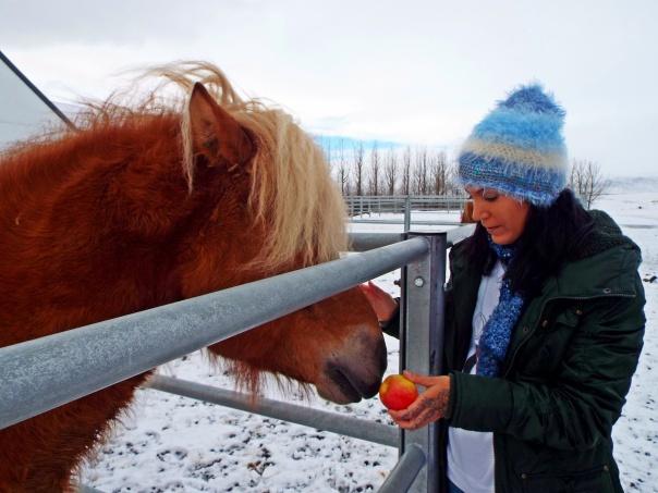 icelandic horse2