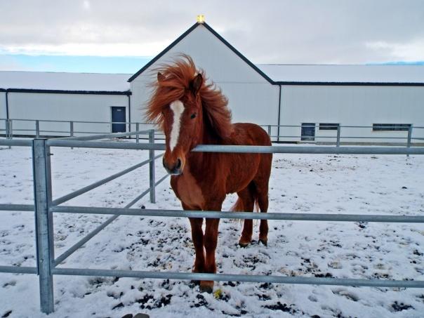 icelandic horse4