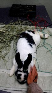 rabbit acupuncture