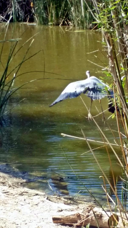 great blue heron10