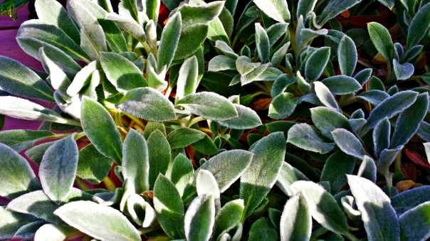 woolly lamb's ear