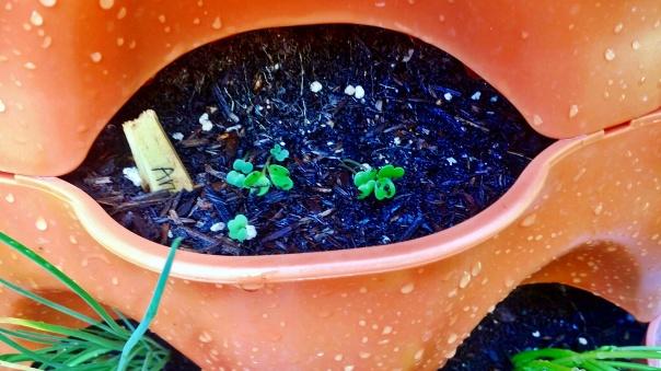 arugula sprouts