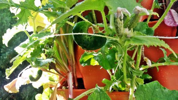 cucumber4