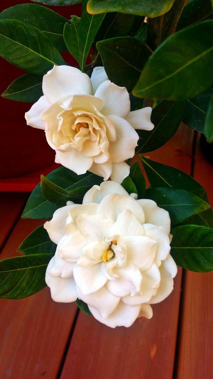gardenias4