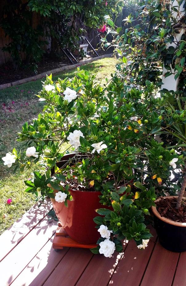 gardenias6