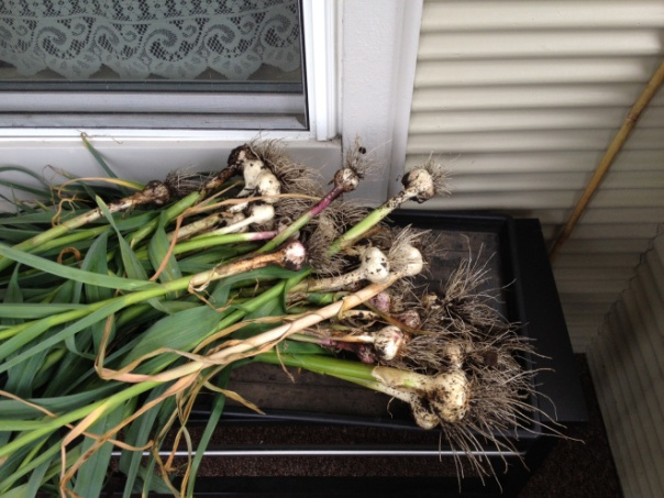 About 1/4 of our garlic, which I planted all over the yard. Imagine my delight in finding the largest bulbs grew in a former black walnut area where few other things grow!