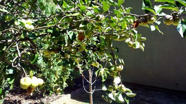 applese galore