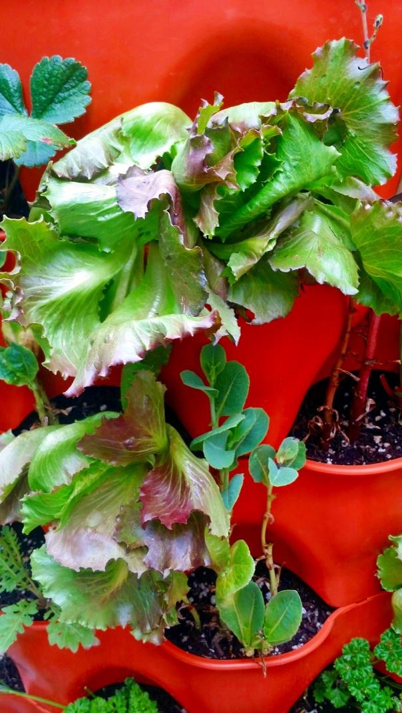 pablo lettuce