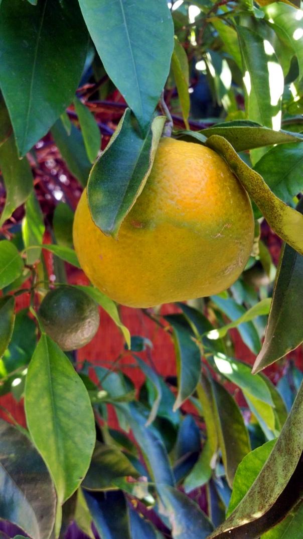 tangerine surprise3