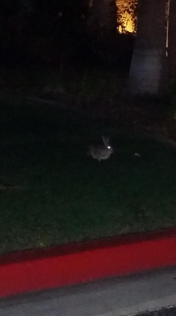 new moon rabbit