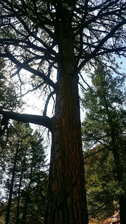 450 year old ponderosa pine