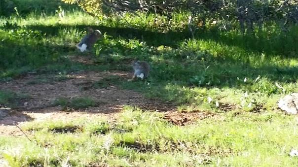 rabbits playing