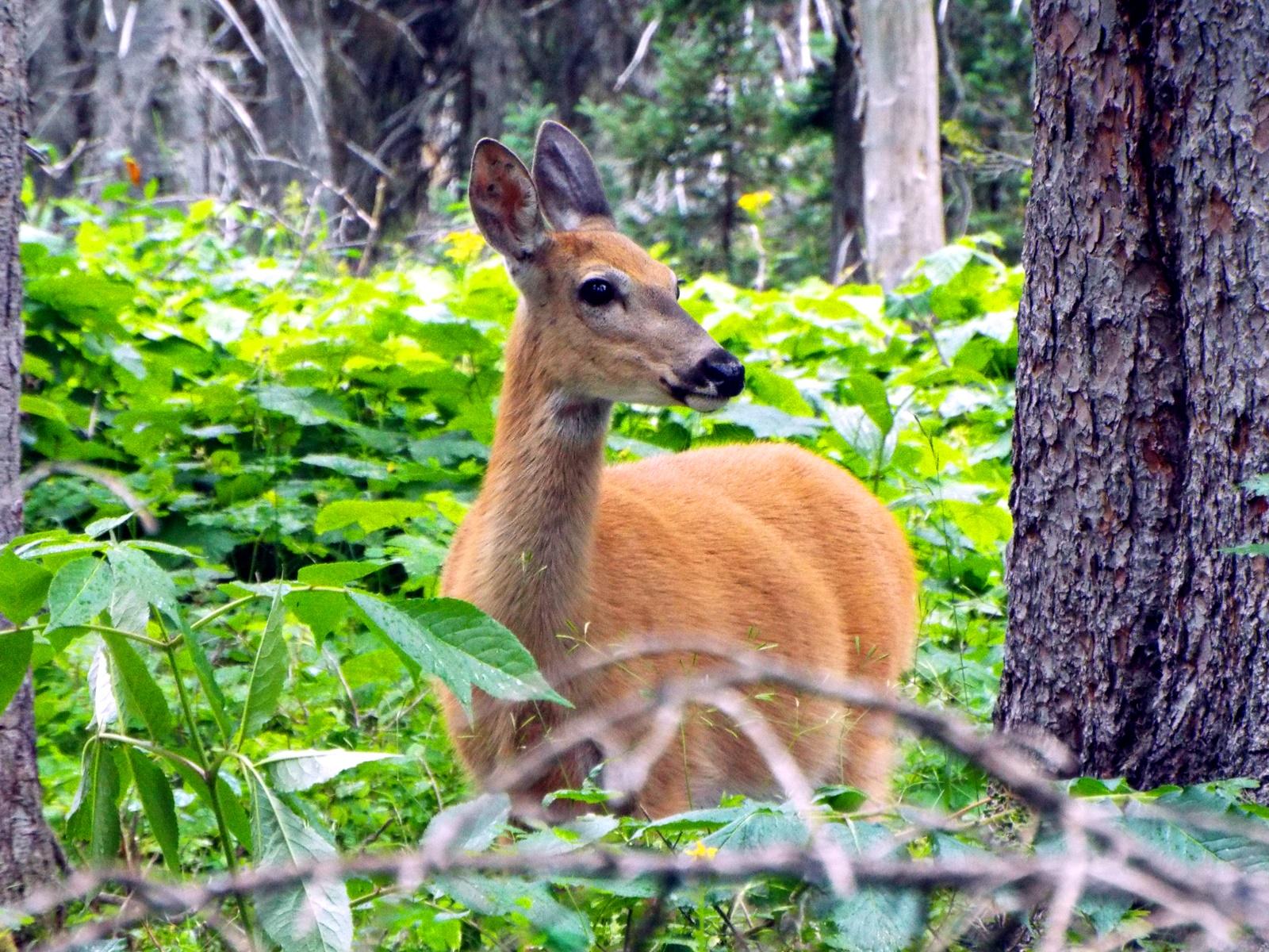 deer14