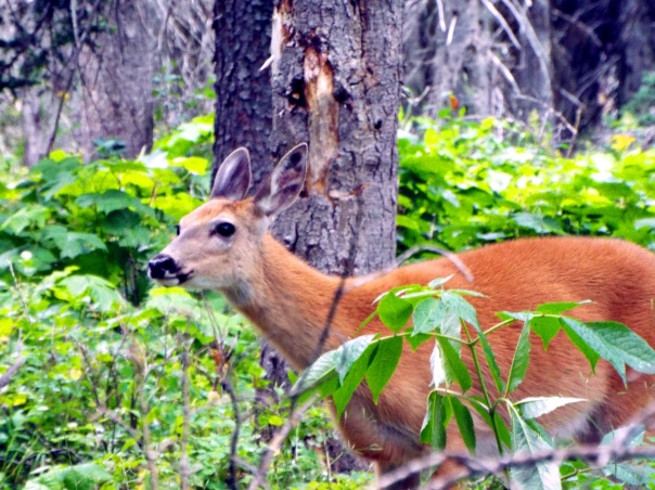 deer15